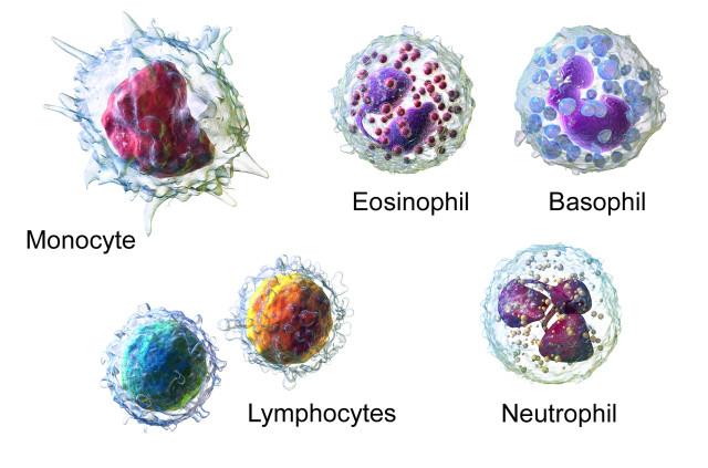 White blood cells. (Image courtesy of Blausen.com.)