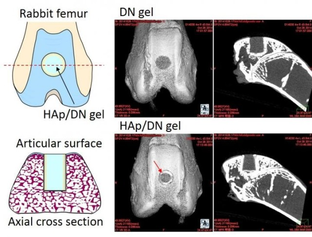 The DN gel and HAp/DN gel implanted into the bone of a rabbit. (Image courtesy of Hokkaido University.)