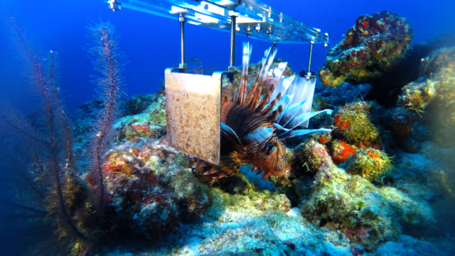 A lionfish interacting with the prototype culling paddle. (Image courtesy of Ocean Support Foundation.)