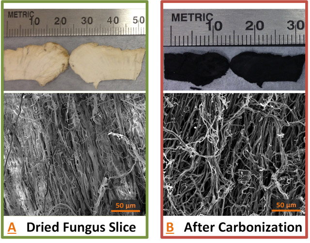 Microscopic images of a type of wild mushroom show that it contains an interconnected network of fibers ideal for battery anodes. (Image courtesy of Purdue University/Jialiang Tang.)