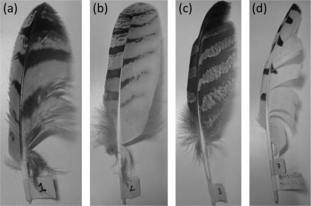 This image shows (a,b) Eurasian eagle owl (Bubo bubo) (c) great gray owl (Strix nebulosi) and (d) snowy owl (Bubo scandiacus). (Image courtesy of Ian A.Clark, Conor A. Daly, William Devenport, W .Nathan Alexander, Nigel Peake, Justin W. Jaworski, Stewart Glegg.)