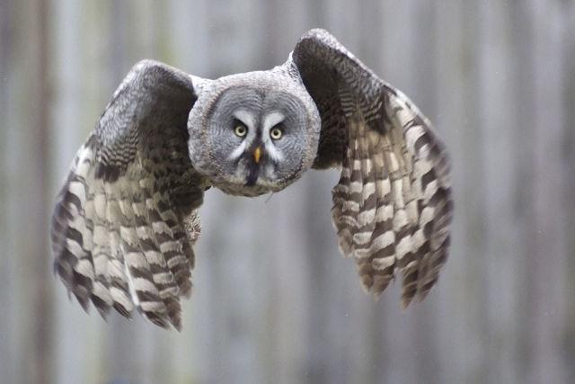 Great grey owl in flight.