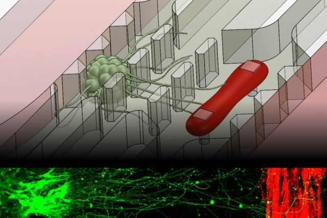 Neurons (green) send out axons to the muscle fiber (red) in the microfluidic device. The bottom fluorescent image shows this process in action, with about 1 mm of separation between neurons and muscle. (Image courtesy of Sebastien Uzel.)