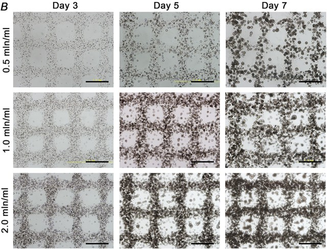 Phase-contrast images of the printed cellular structure at day 3, day 5 and day 7. Scale bar: 1 mm. (Image courtesy of Wei Sun)