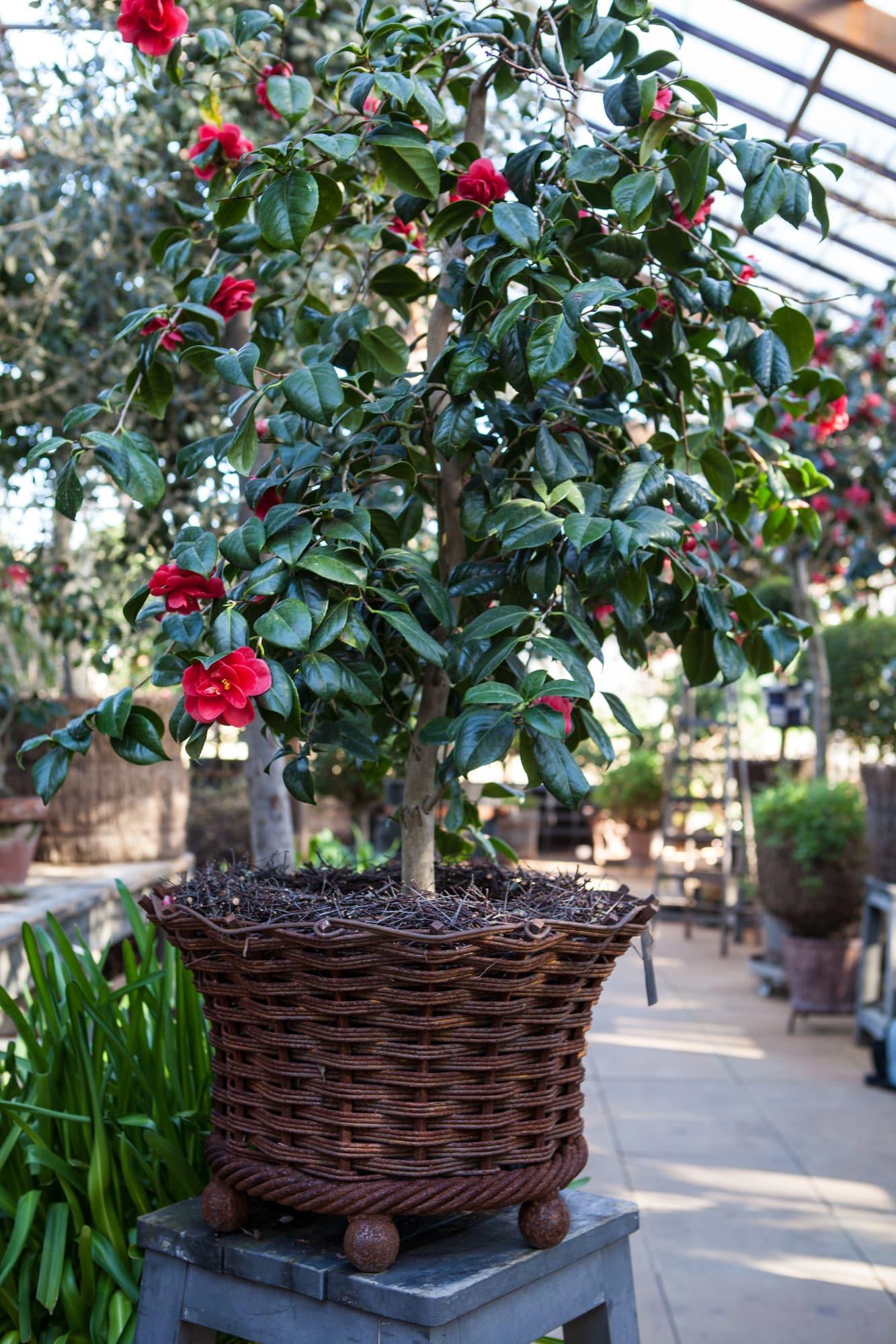 'Kuron Kuron' är en av Tage Andersens egna favoriter bland annat för de mörkröda blommorna och det blanka bladverket.