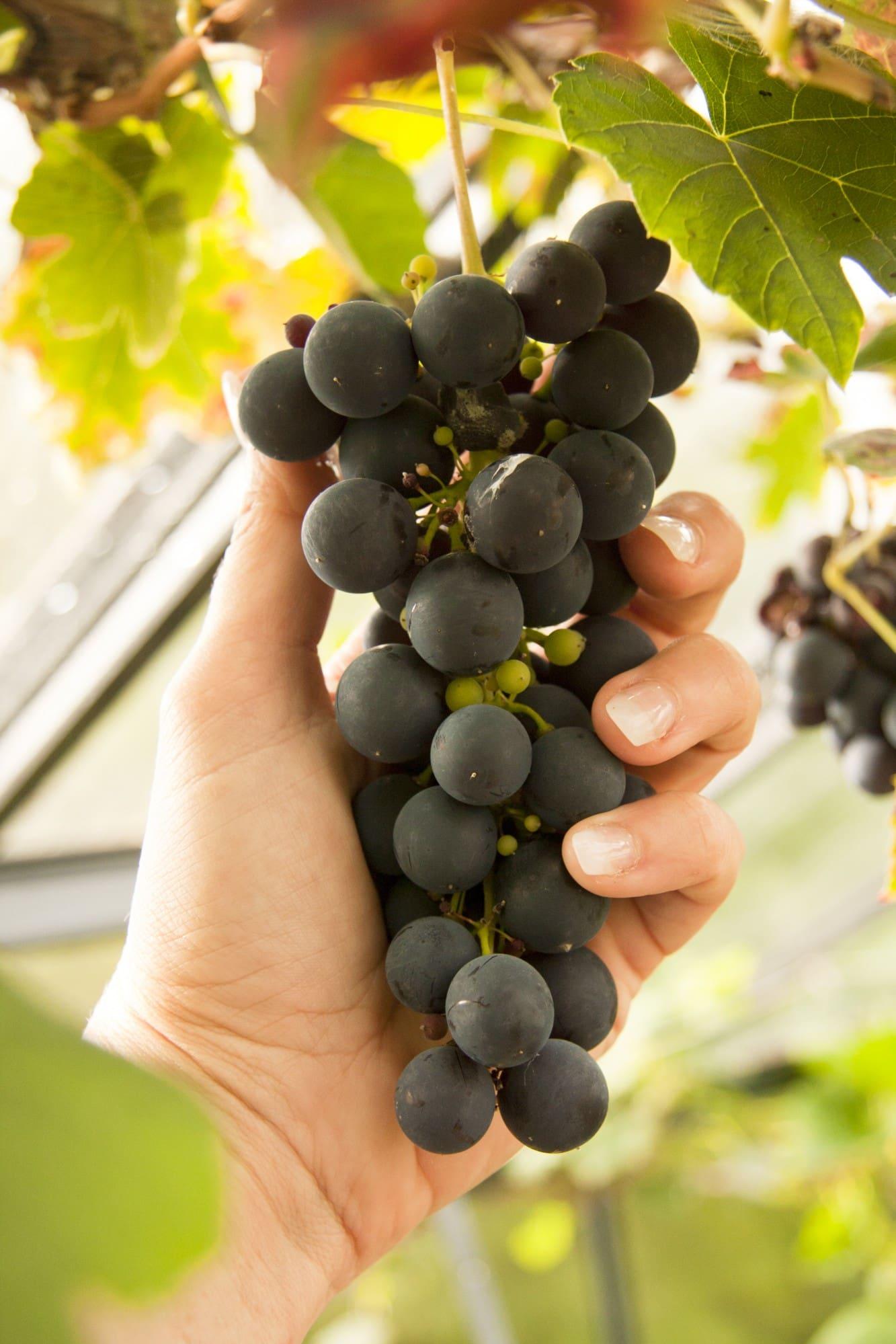 Efter några år med vin kan du skörda mängder av söta, goda, obesprutade vindruvor!