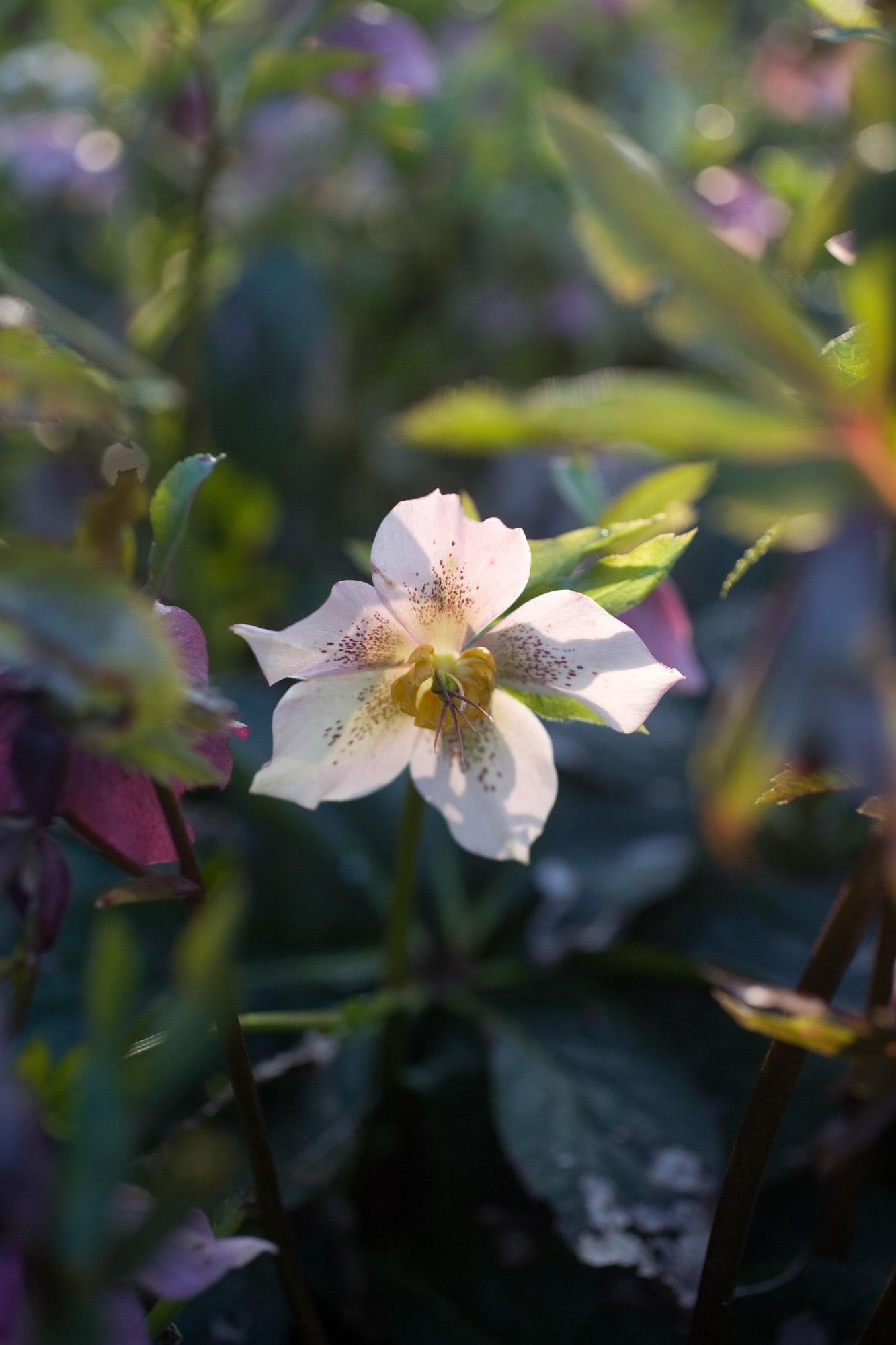 Solsken genom en vit orientalishybrid med små purpurfärgade fläckar.