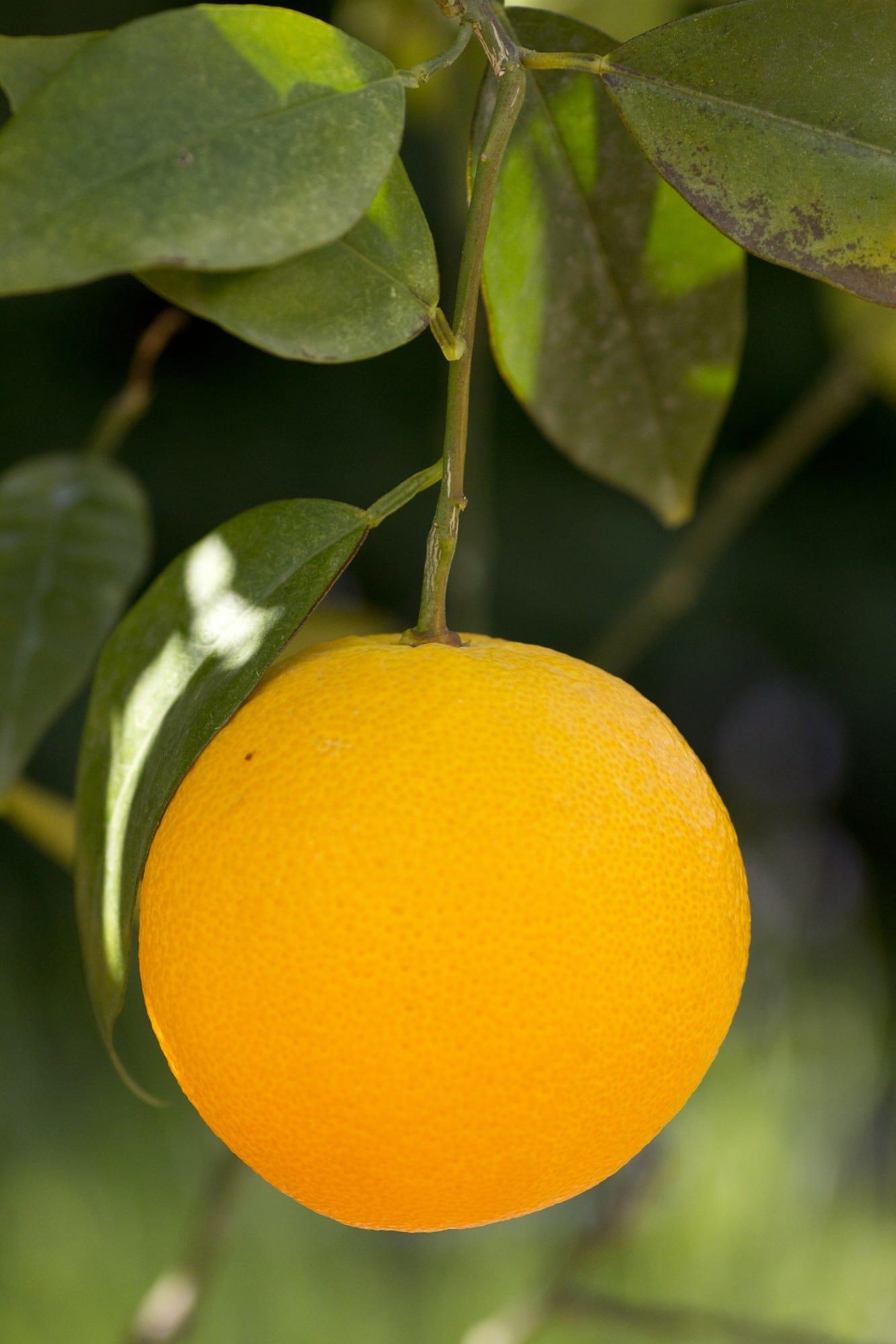 Solvarma apelsiner direkt från busken.