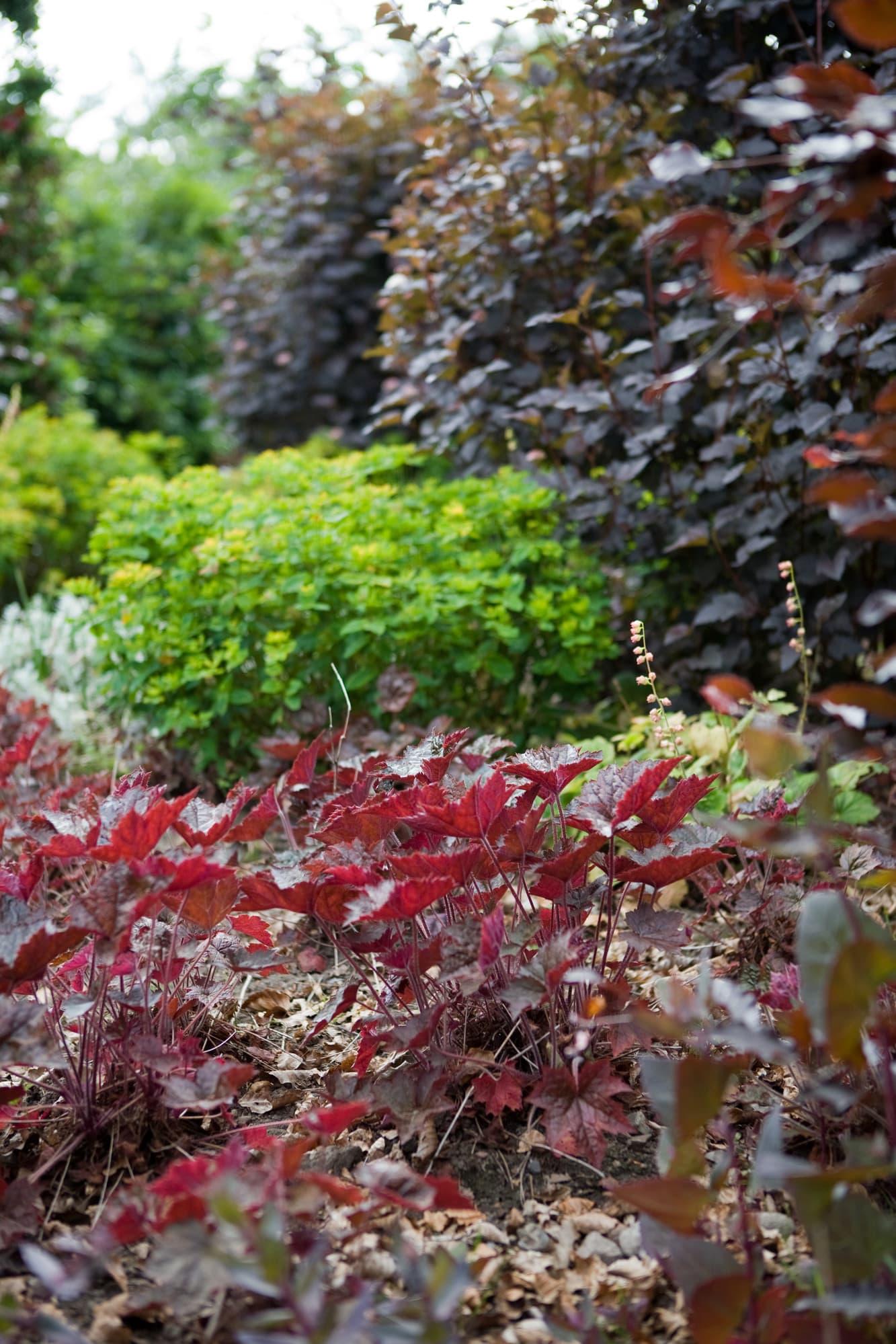 Det svarta hålet. Längst fram Alunrot Heuchera micrantha `Palace Purple´, den gulgröna töreln Euphorbia (namn okänt) i fin kontrast till den höga mörkbladiga smällspirean Physocarpus opolifolius `Diablo´.