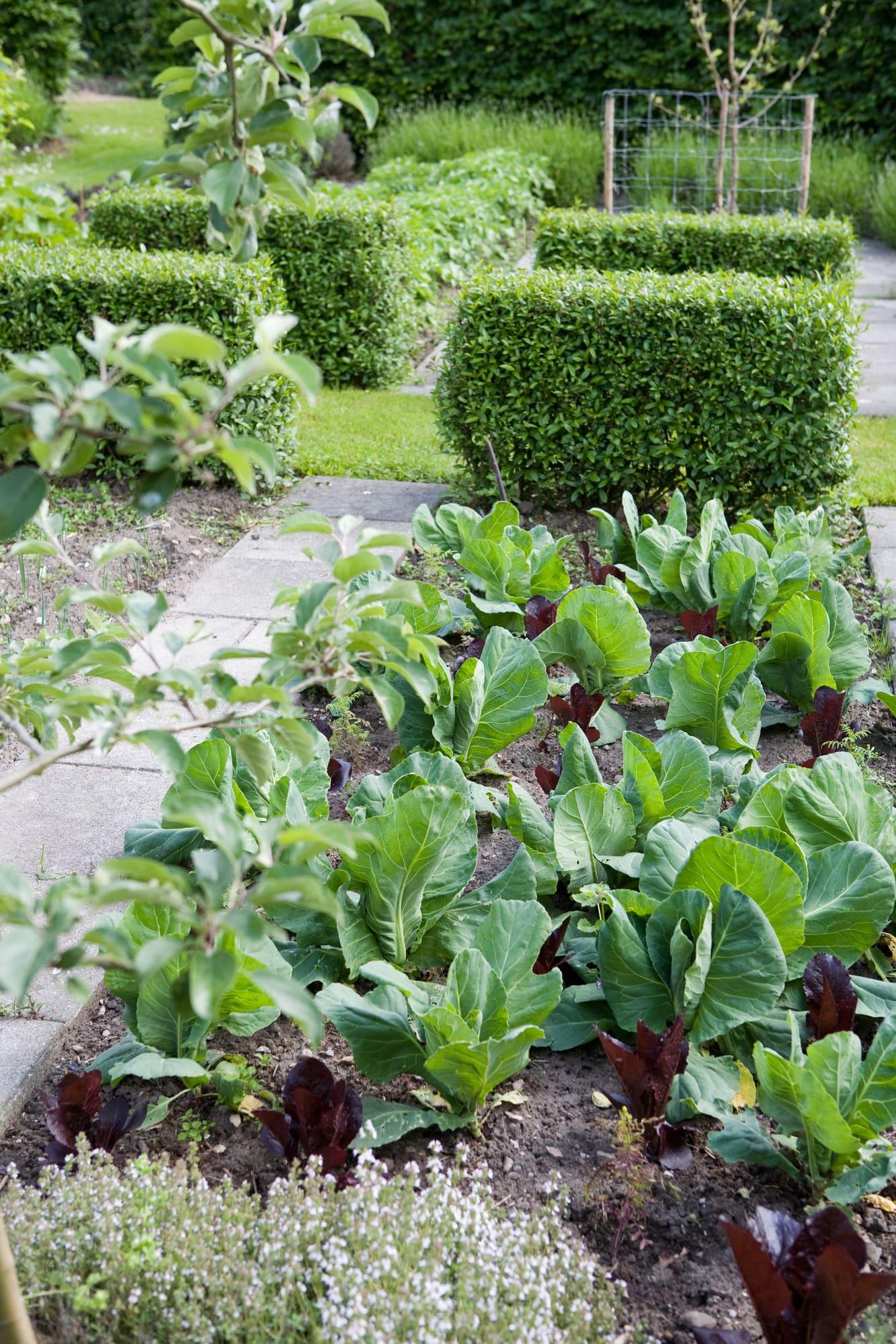 Klippt liguster i köksträdgården och kålplantor.