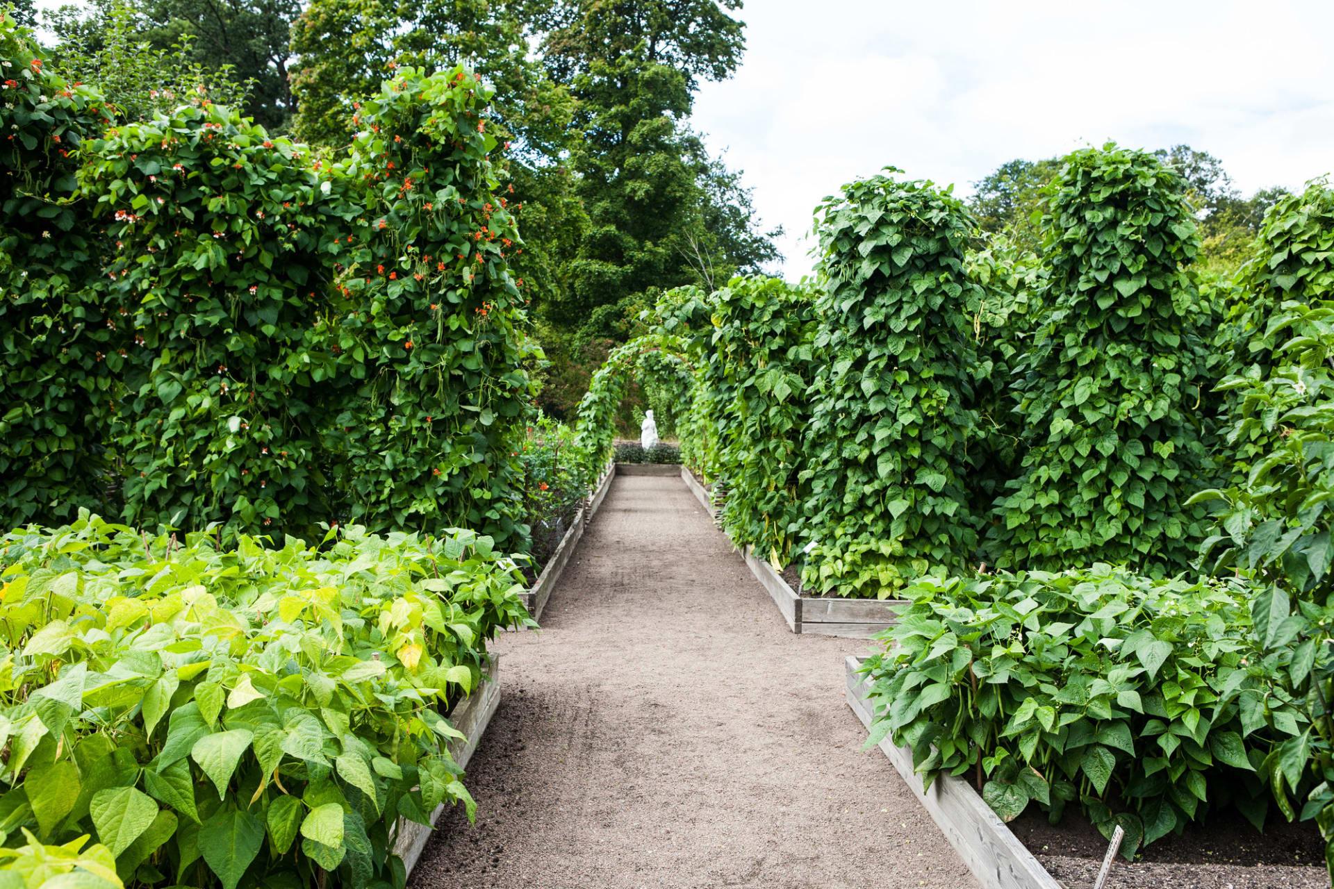 Bönor kan odlas på många olika vis. T. v. syns blomsterbönan 'Red rhum'.