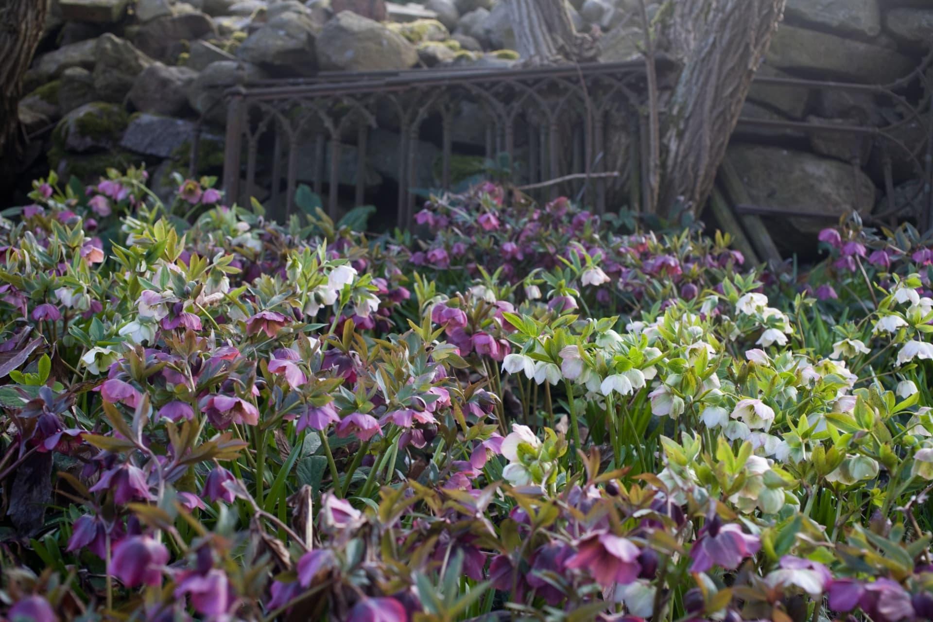 I den västra delen av trädgården ligger julroseängen. Här är det trångt om saligheten med tusentals nickande blommor. En imponerande syn!