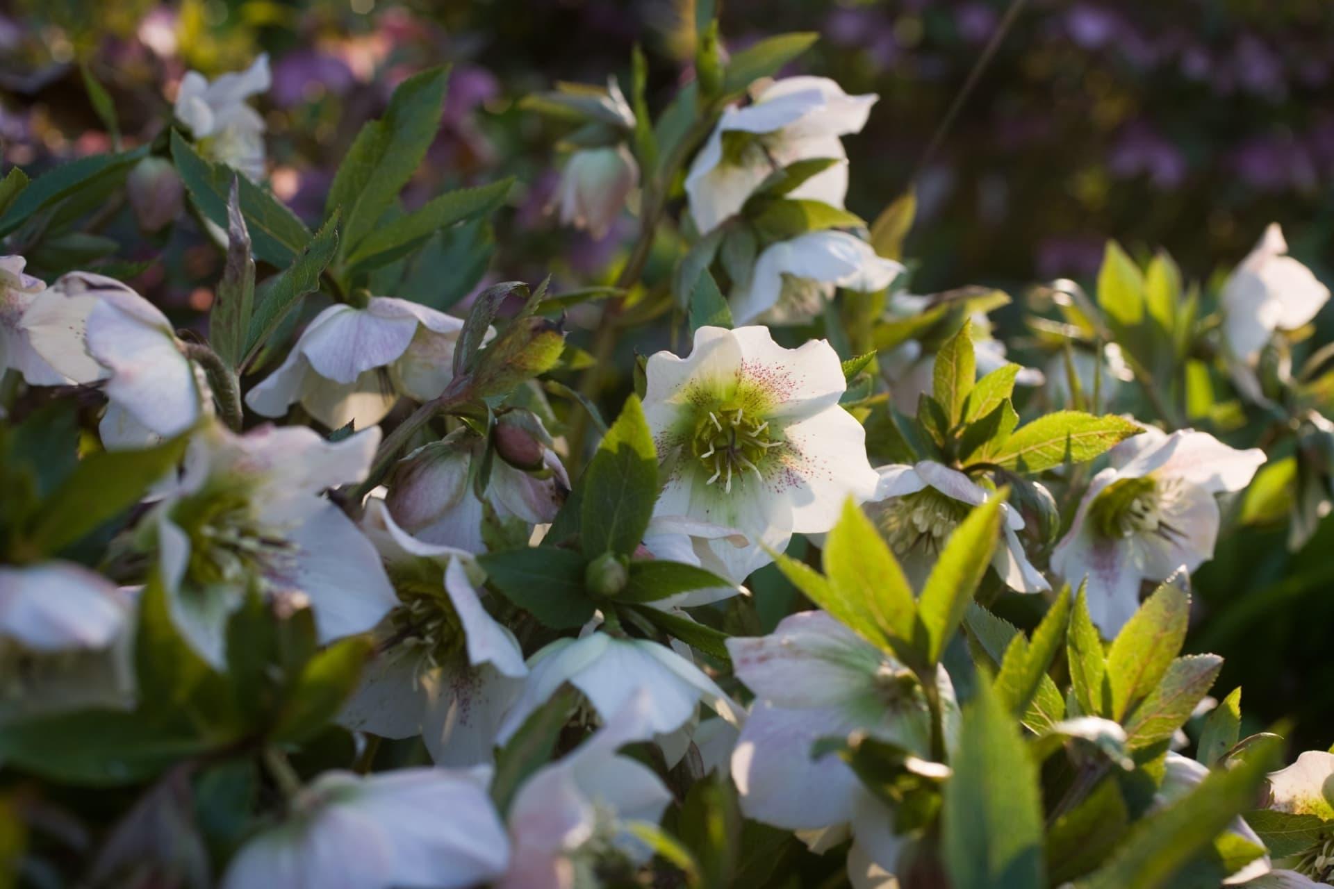 Orientalis hybriderna uppträder i en mängd olika färger. Det finns sorter med vita, rosa, röda, gula, svarta, ljusgröna och prickiga blommor.
