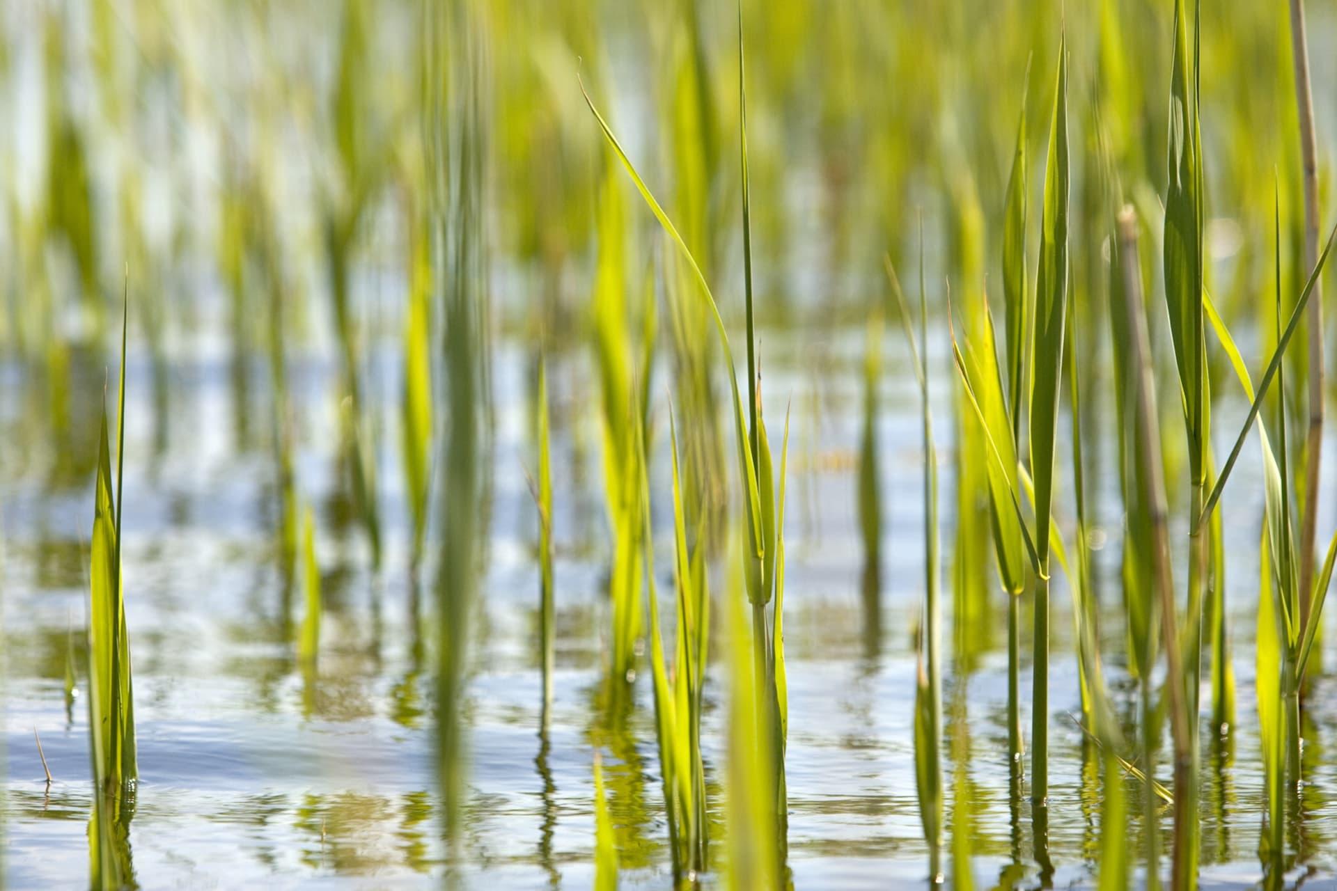 Spröda ljusgröna vasstrån skjuter upp ur det kalla vattnet. Våren är en härlig tid för paddling.