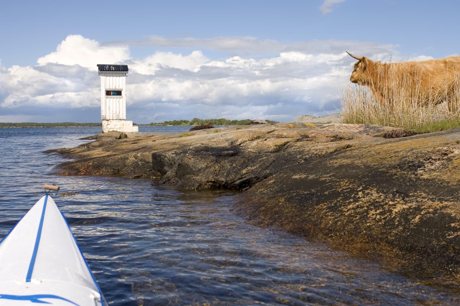 En ko i vassen. Boskapen är många på öarna räkna inte med att vara helt ensam.