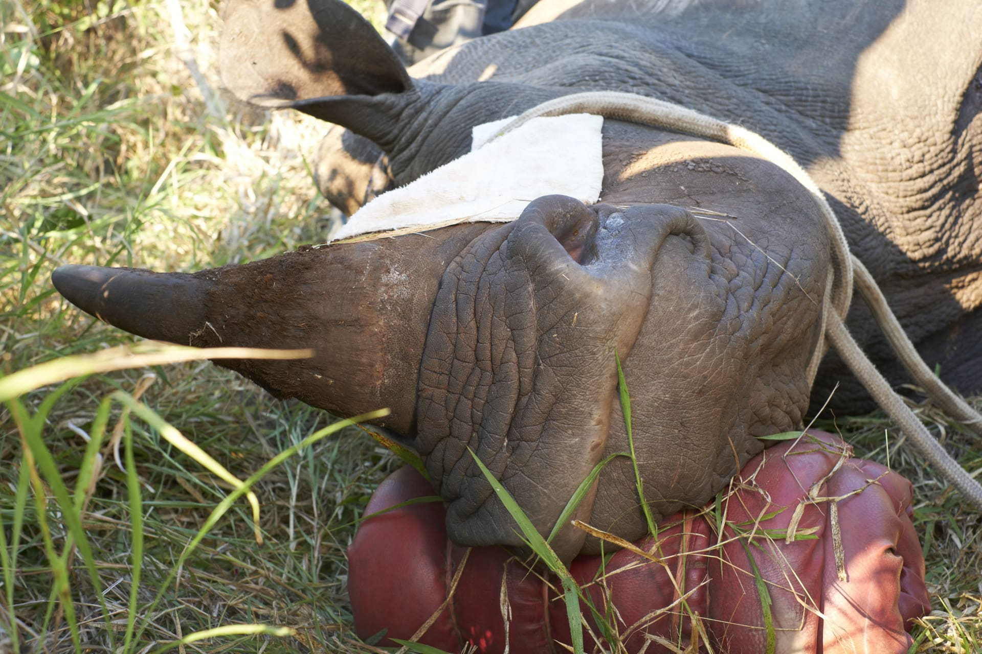 The rhino retains its sense of smell, sight, and hearing. So precautionary measures are taken to ensure the animal's comfort and safety.