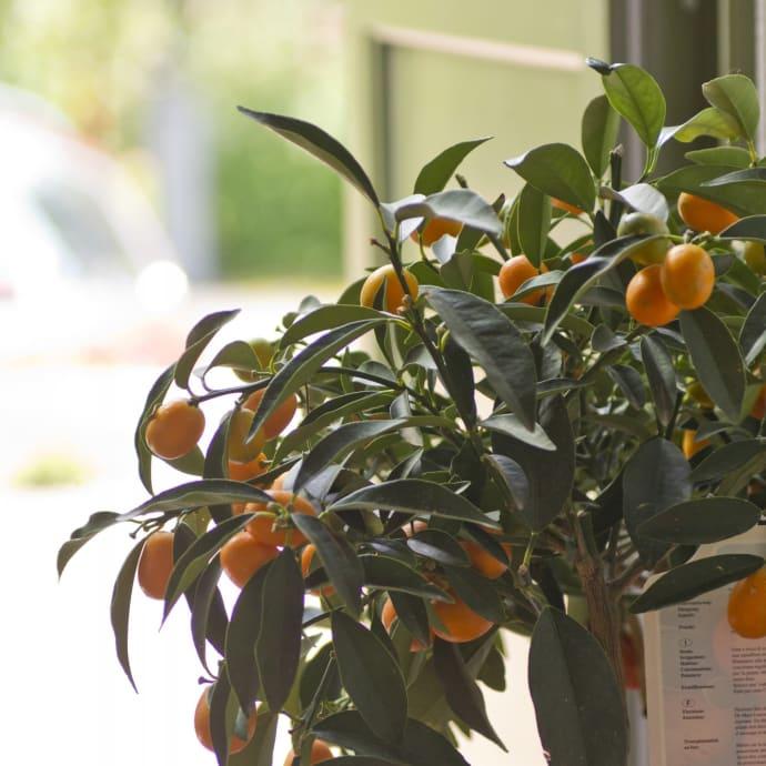 Kumquat är en av de mest lättodlade citrusväxterna eftersom den går bra att övervintra i ett vanligt bostadsrum.