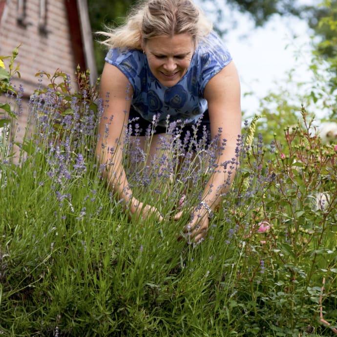 Skörda lavendel när blommorna är precis nyutslagna, då innehåller de som mest eteriska oljor.