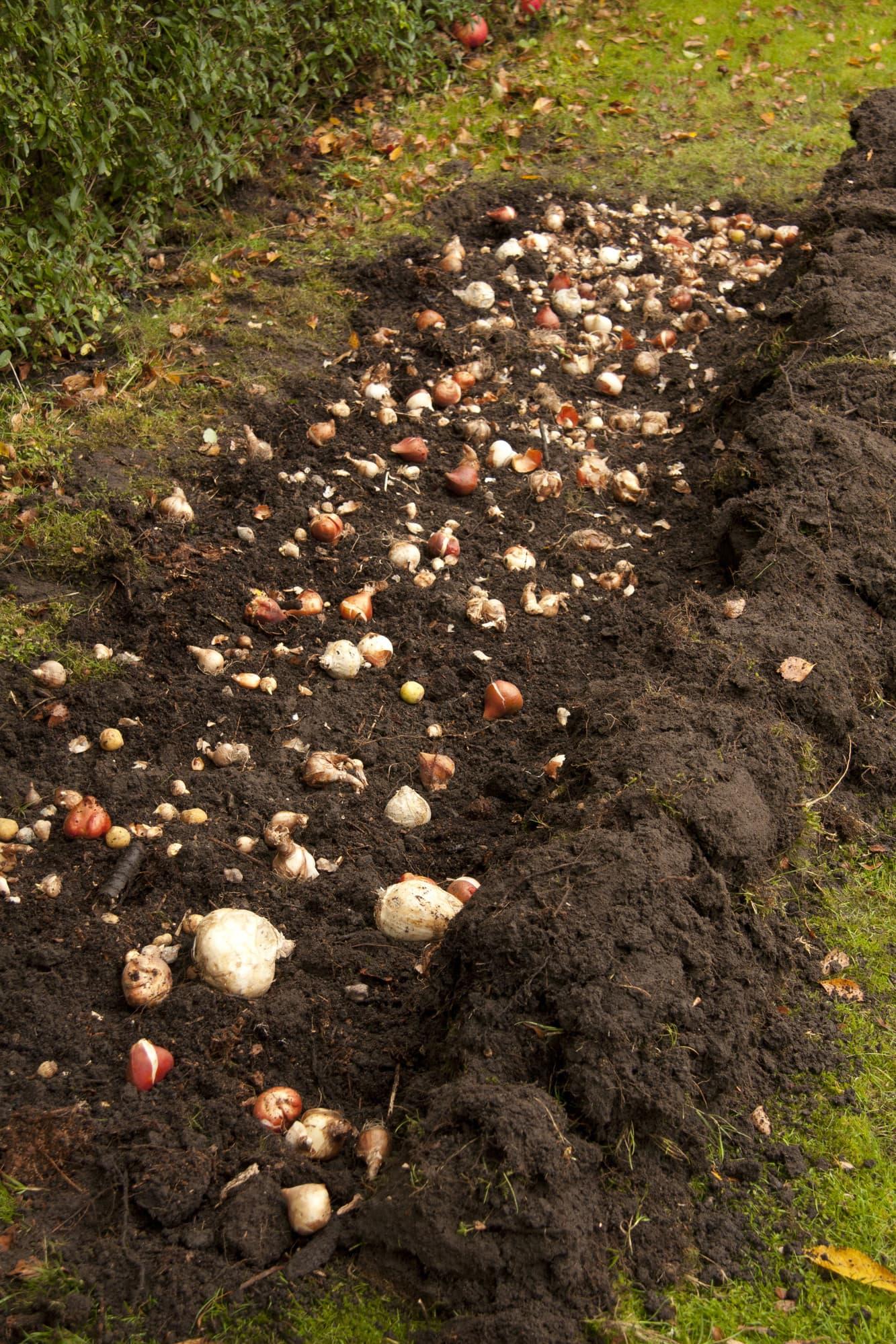 Sprid ut lökarna över ytan. De får gärna ligga tätt, men bör inte röra vid varandra. Stora lökar måste grävas ner medan smålökarna sprids ovanpå den luckrade jorden.