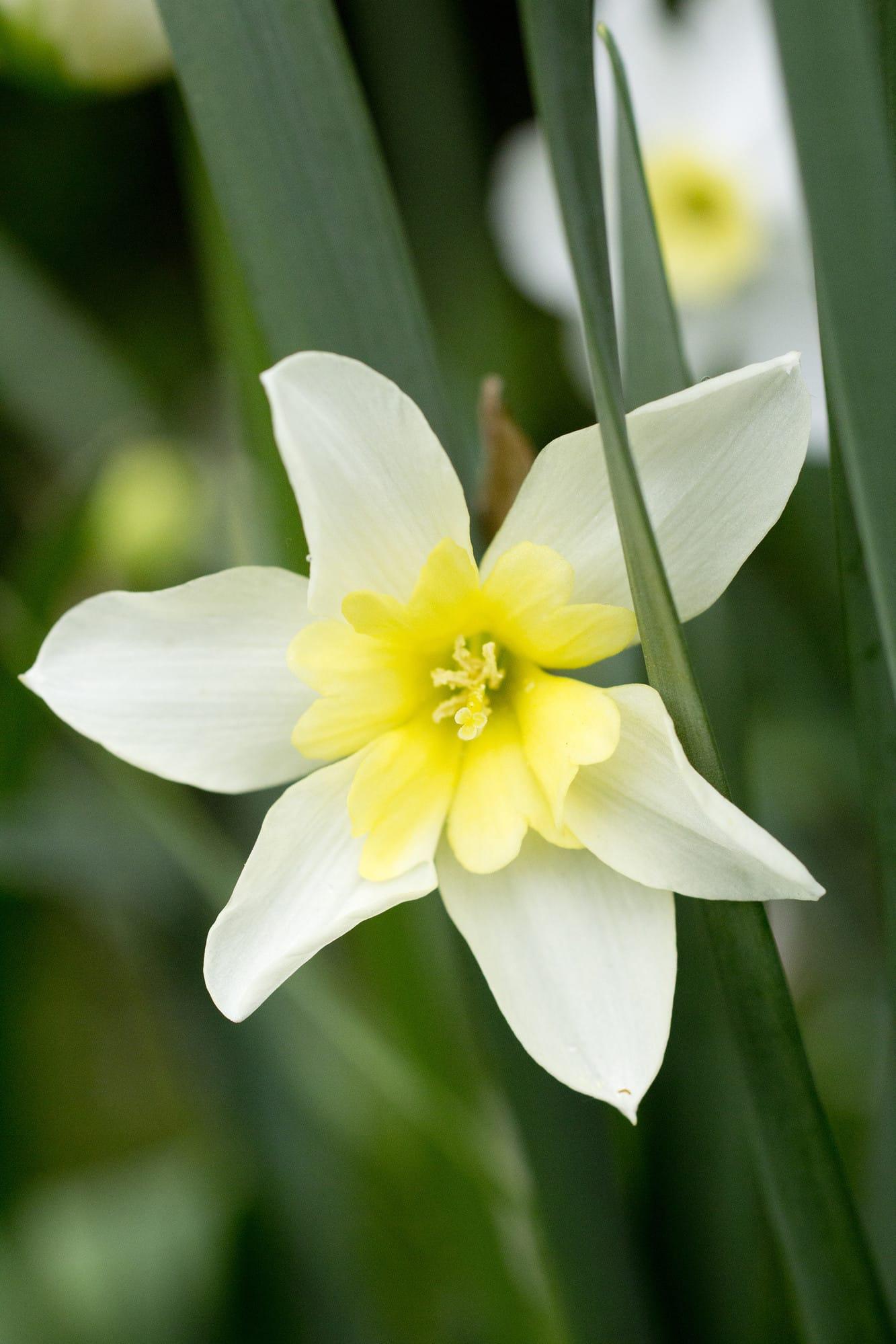 Narcisser blir ofta långlivade i gräsmattan och förökar sig efter några år.