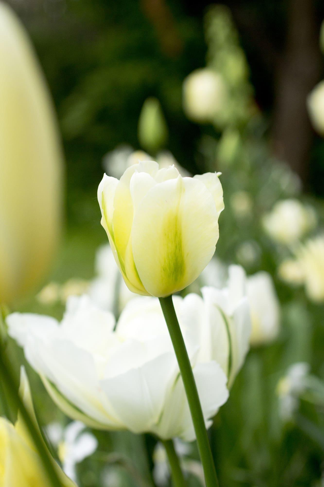 En av de mest omtyckta vita tulpanerna är 'Spring Green'. Ett verkligt utropstecken i lökängen!