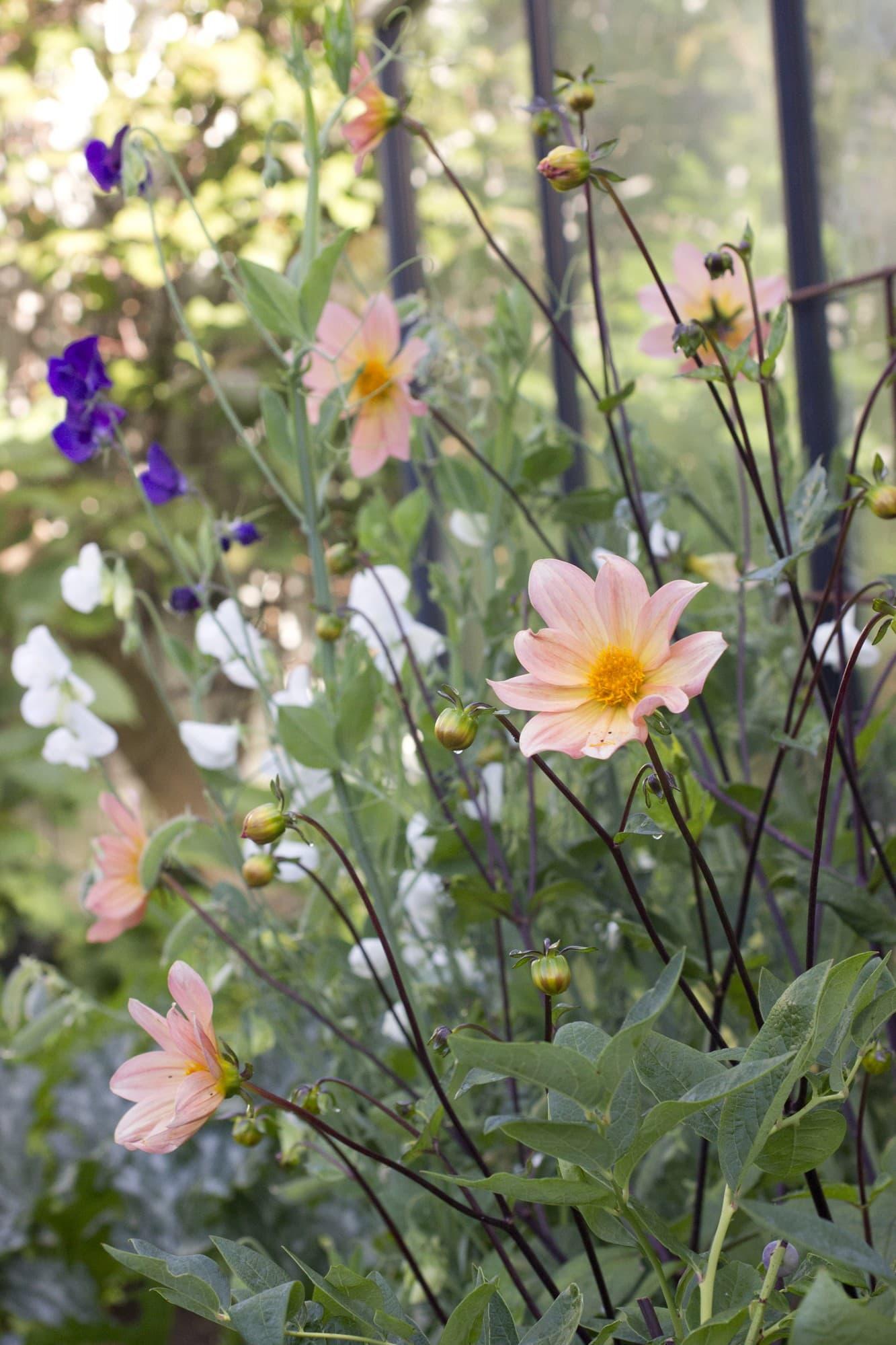 Den enkelblommande dahlian har planterats ut i rabatten. Ju mer blommor du plockar, desto rikligare blommarden.