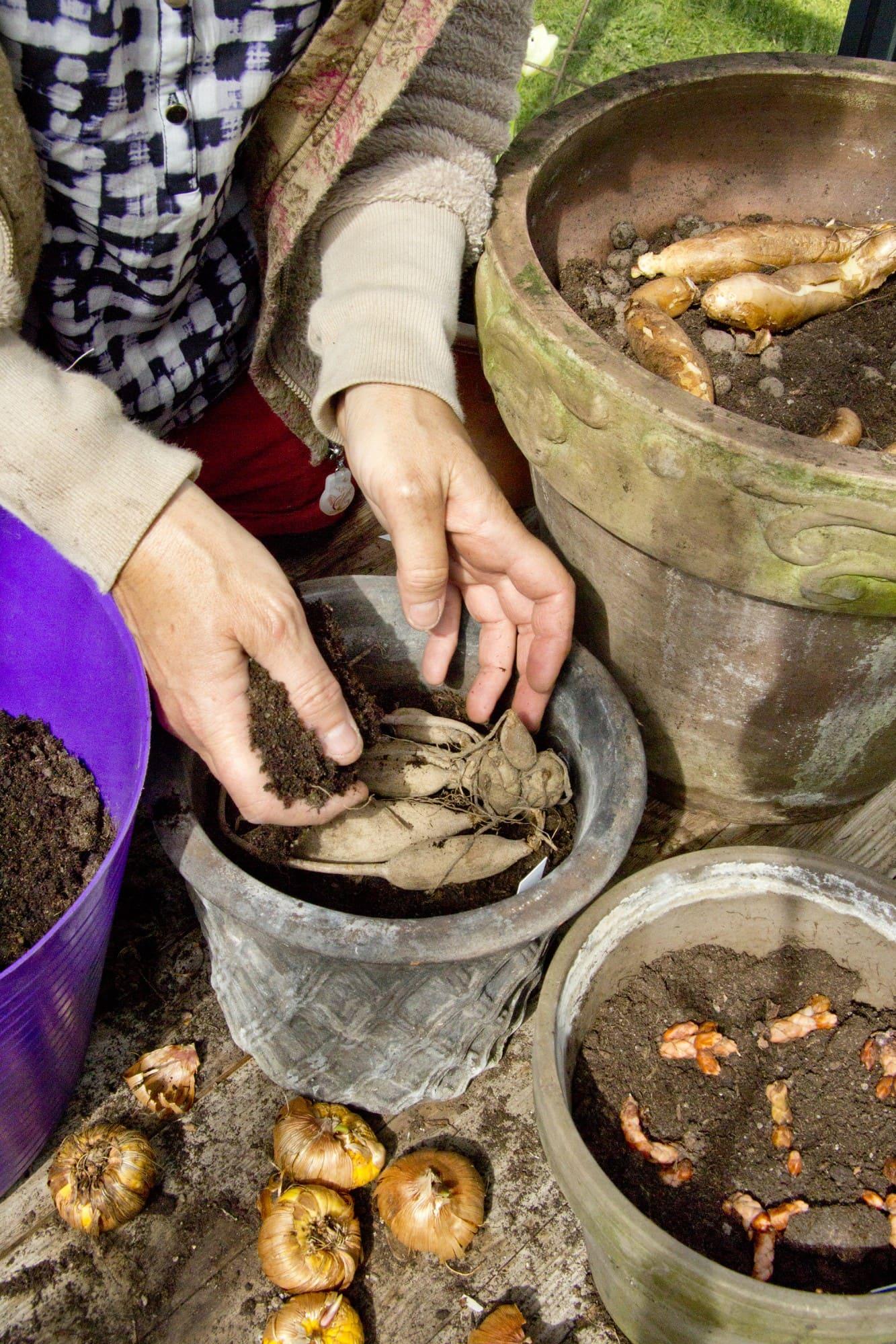Dahliaknölarna ska vara saftspända innan de planteras. Är de mycket torra kan du blötlägga dem en timme innanplantering.