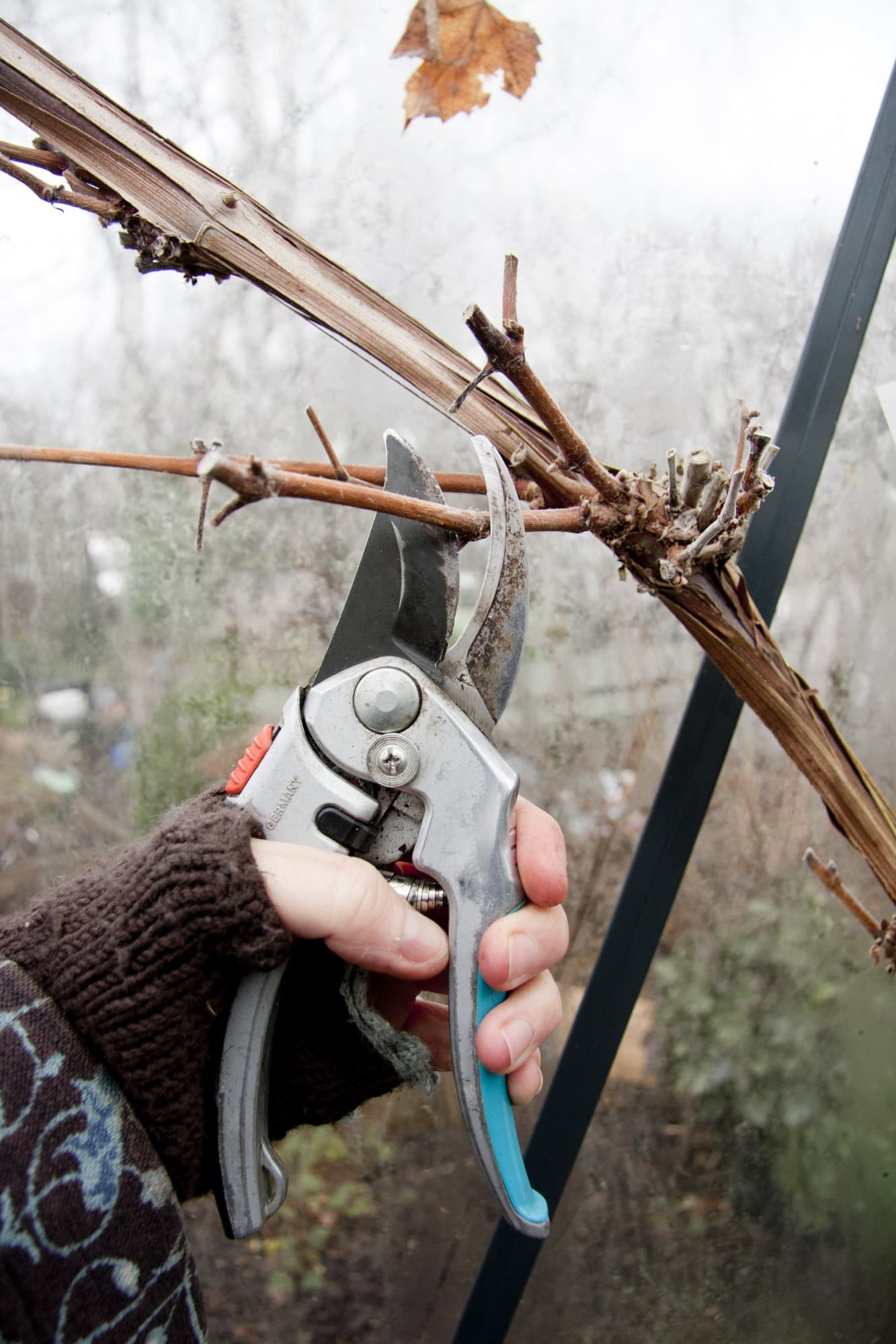 Före jul ska vinplantan formbeskäras. Lämna en till två noder på varje sidoskott. Där kommer nästa års tillväxt.