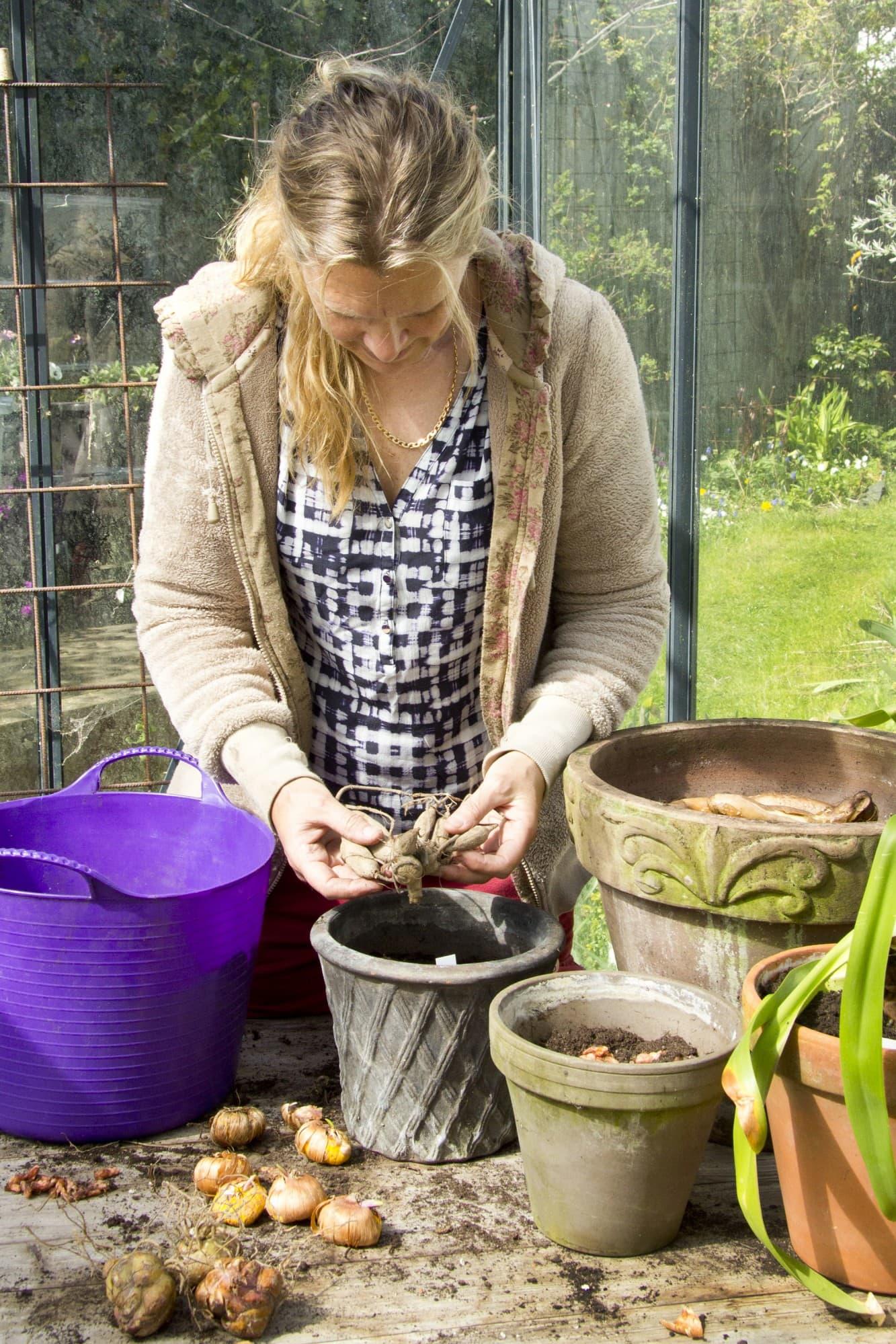 Genom att plantera sommarlökarna i krukor redan under våren får du igång blomningen flera veckortidigare.