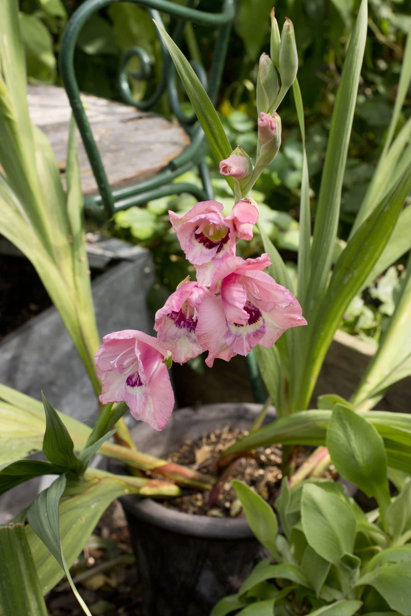 Gladiolus – en klassisk sommarlök som finns i mängder avfärger.