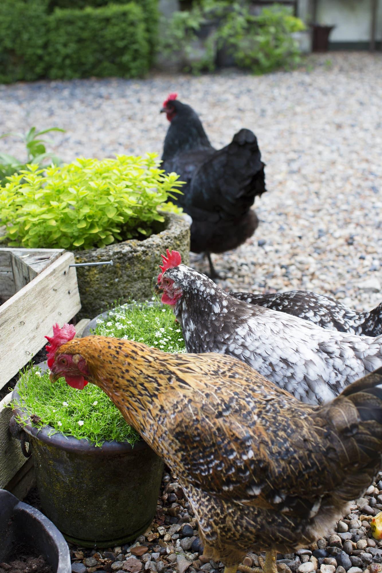 Orpington hens.