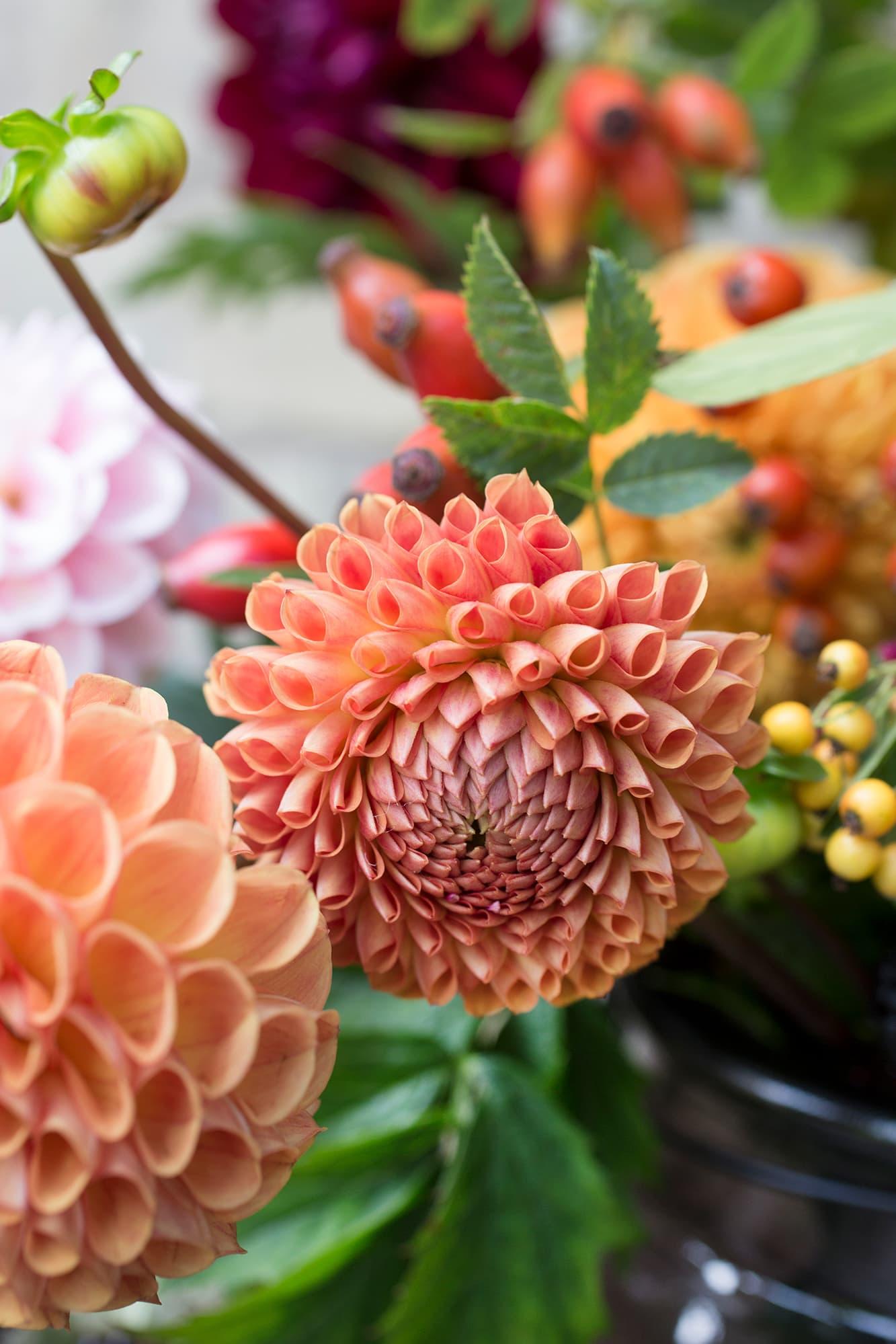 Dahlior är helt klart en av höstens bästa blommor till snitt. En enda planta producerar så mycket blommor att det räcker till både kransar och buketter ända tills frosten kommer. Glöm inte att ta upp knölarna från jorden och förvara dem mörkt och svalt i exempelvis sågspån.