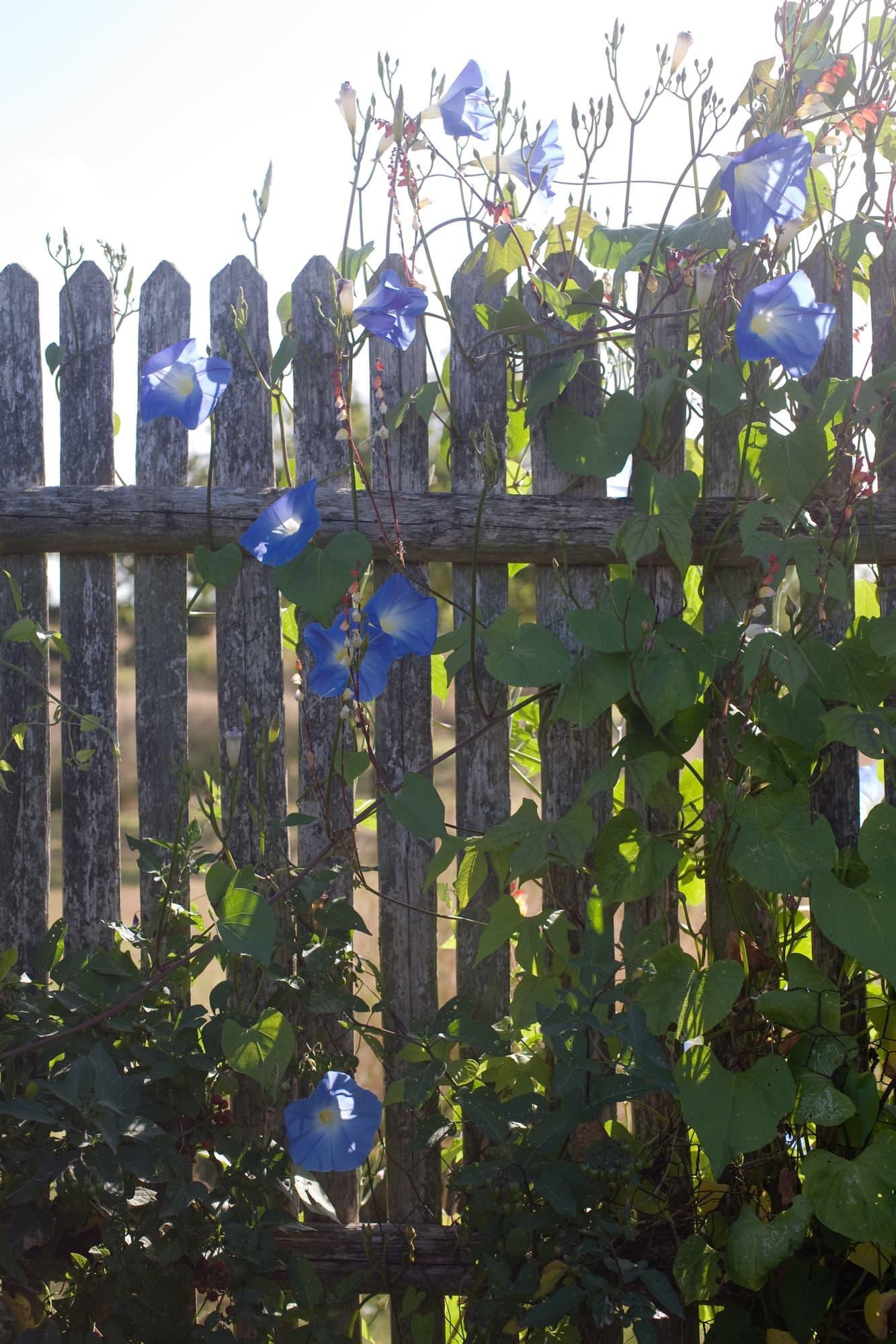 Blomman för dagen på staketet runt köksträdgården.