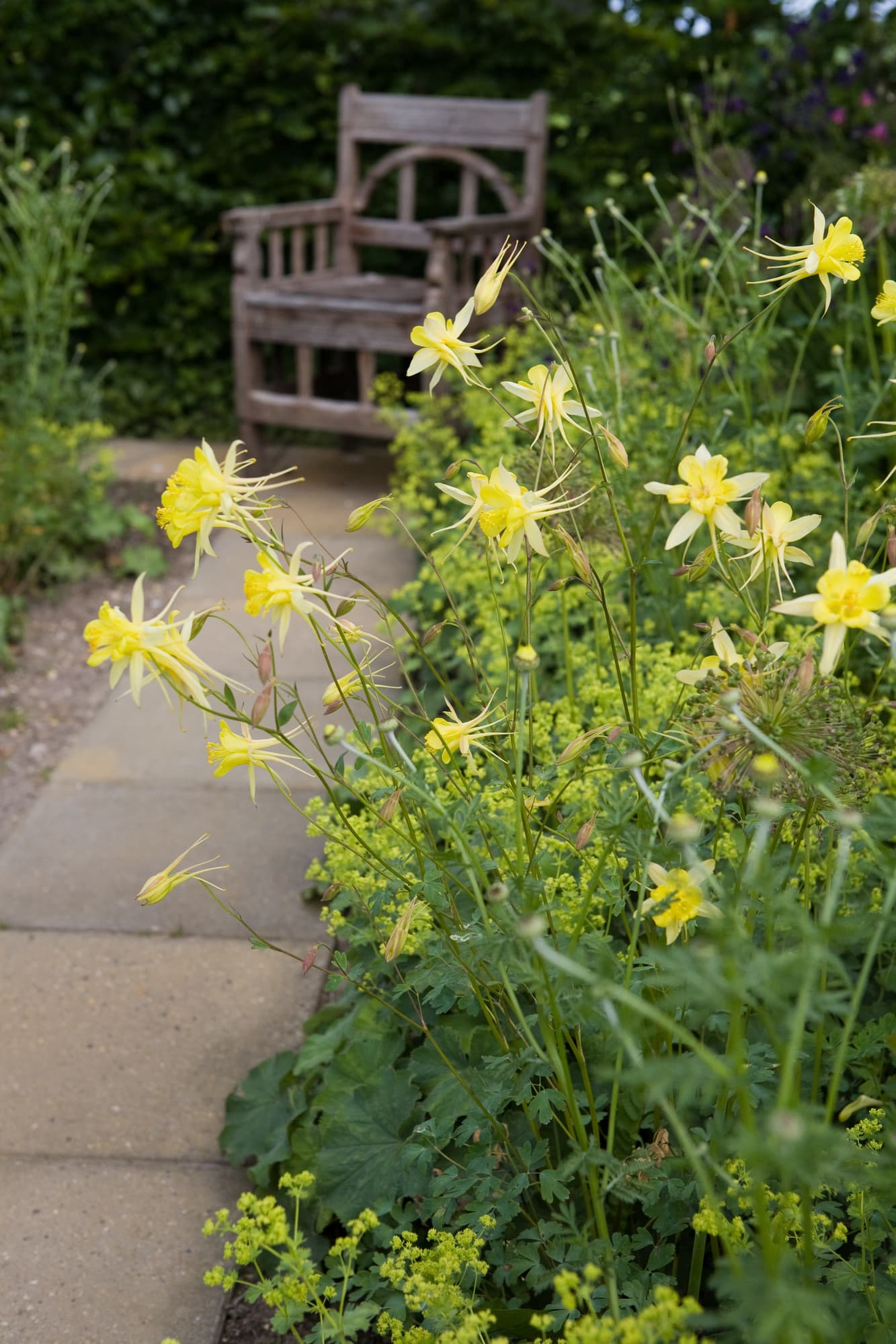 Aklejor, Aquilegia chrysantha ´Yellow Queen´