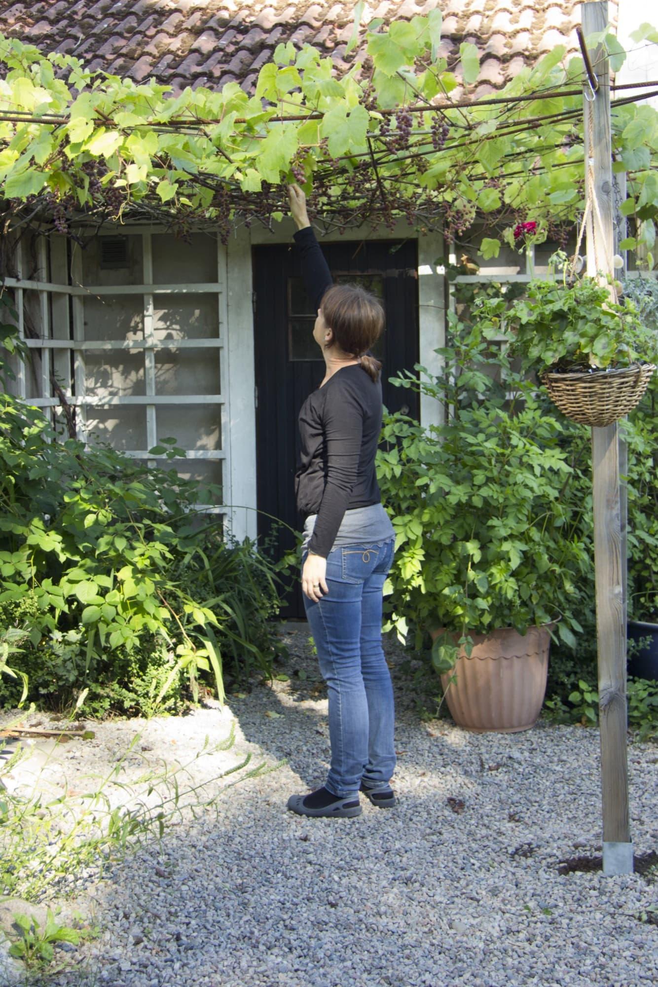 Labruskadruvorna kallas staketdruvor, men de blir höga och odlas med fördel så här, ovanpå en pergola. Ett armeringsnät håller dem på plats.