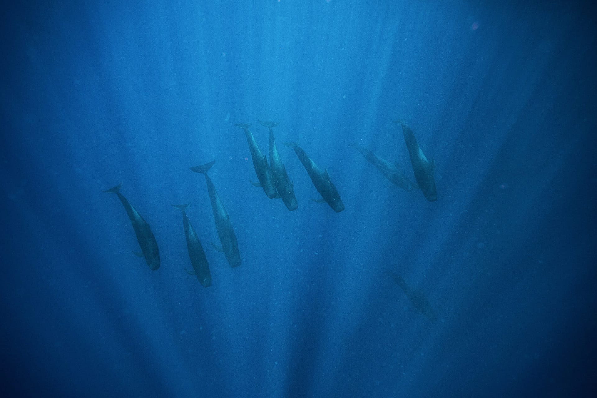 A group of pilot whales passed under me at a point when I was already in the water. They are very rare to see and we were the only boat to see any during the past whale watch season.