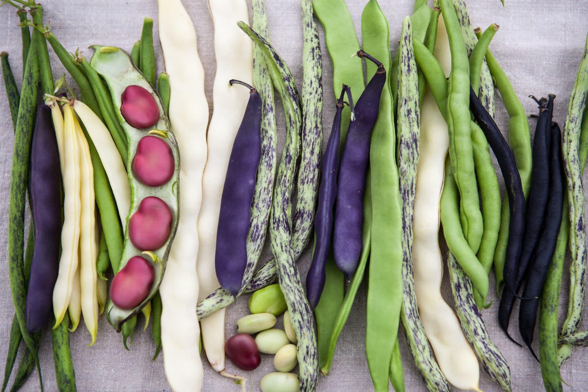 Här blandannat strimmiga 'Berner Landfrauen', mörklila 'Purple Queen', gröna och ljusgula skärbönor.