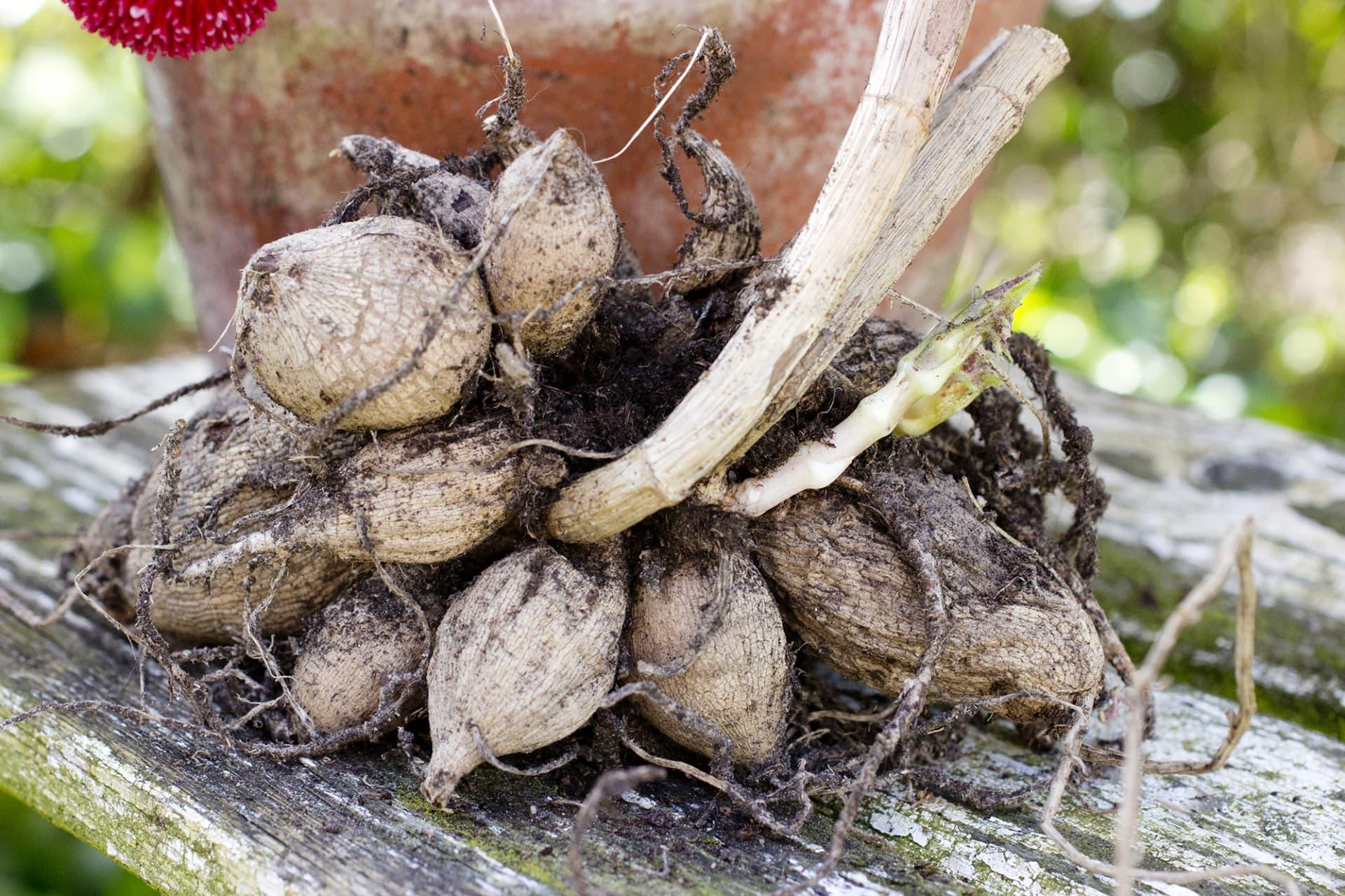 Dahliaknölarna ska vara saftspända innan de planteras. Är de mycket torra kan du blötlägga dem en timme innan plantering.