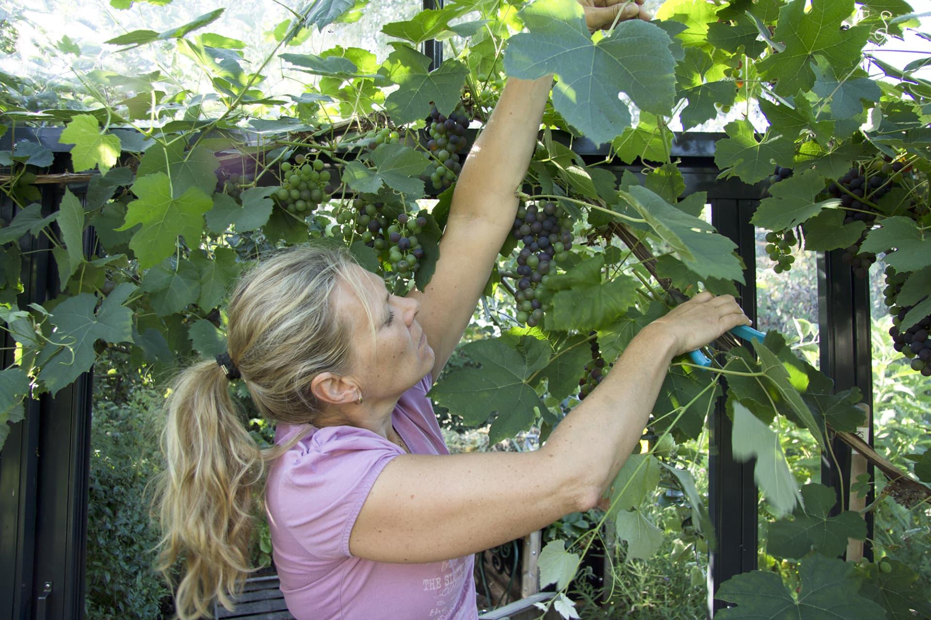 Sommarbeskärningen sker i flera omgångar, allt eftersom nya rankor växter till och skuggar druvorna.