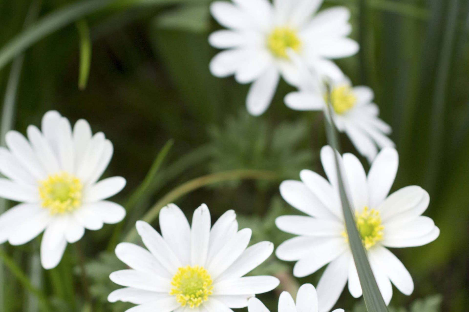 Balkansippa ser nästan ut som en vit blåsippa och blommarlänge.