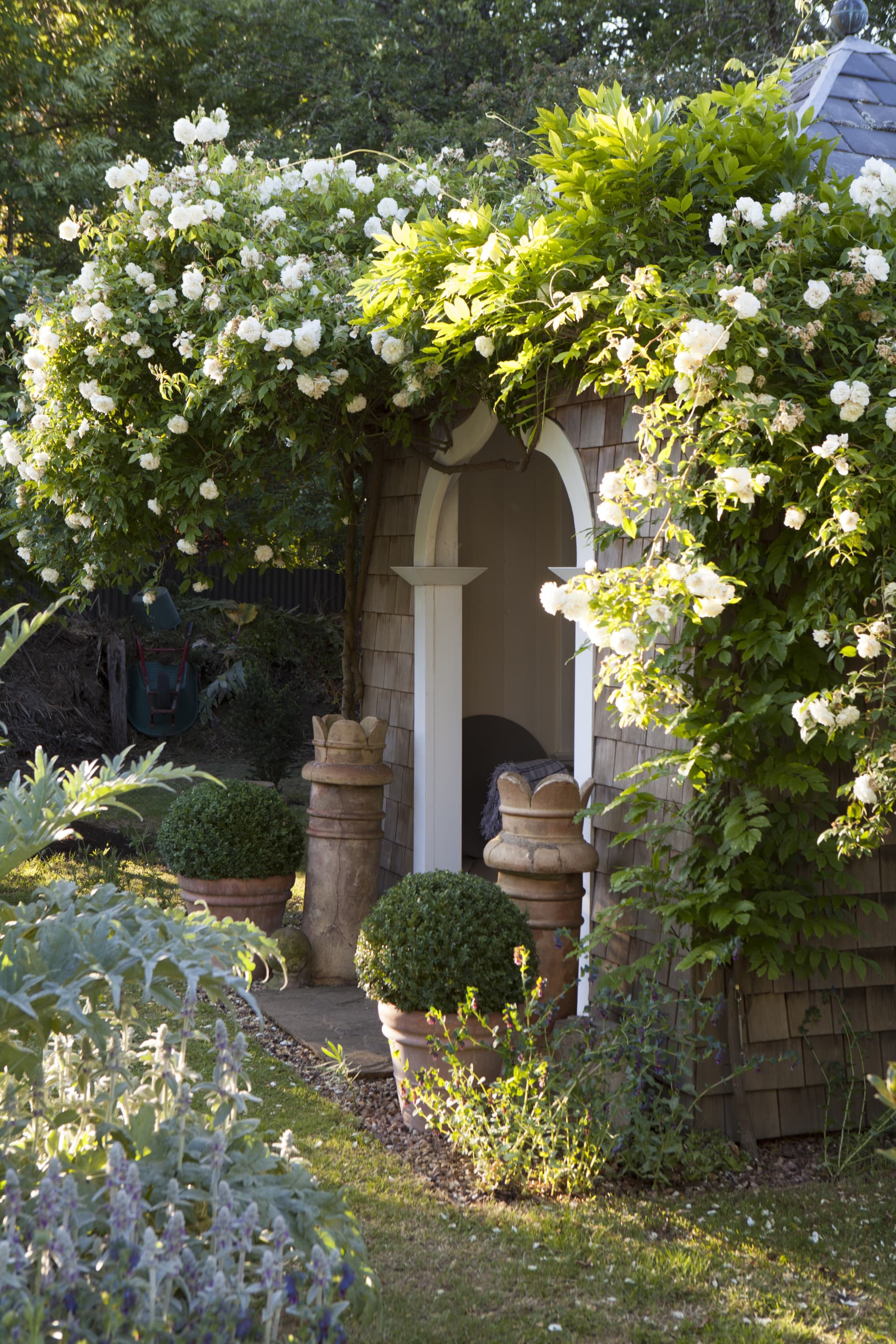 The summerhouse in the garden is engulfed in the white rose Lamarque; its citrus scent fills the air of the warm evenings in the garden.