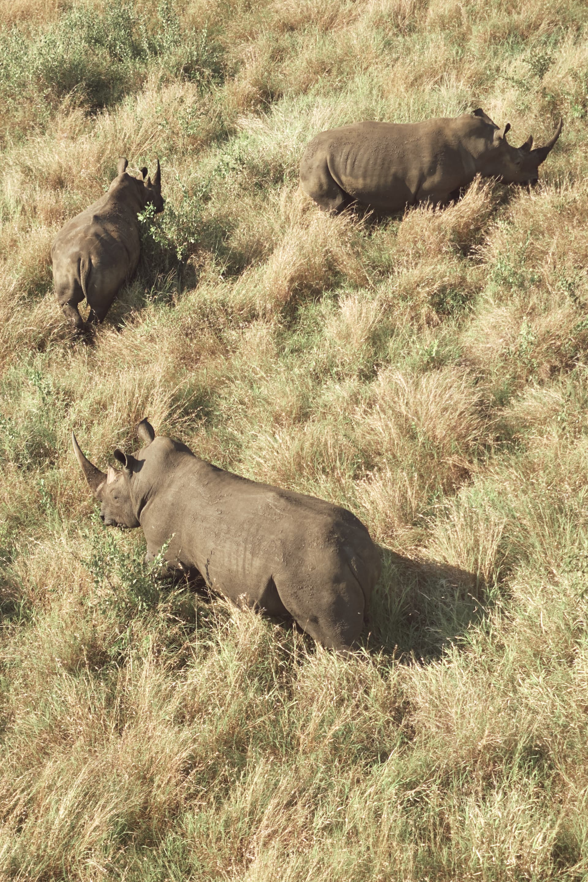 Healthy and safe, our white rhino rejoins his party.