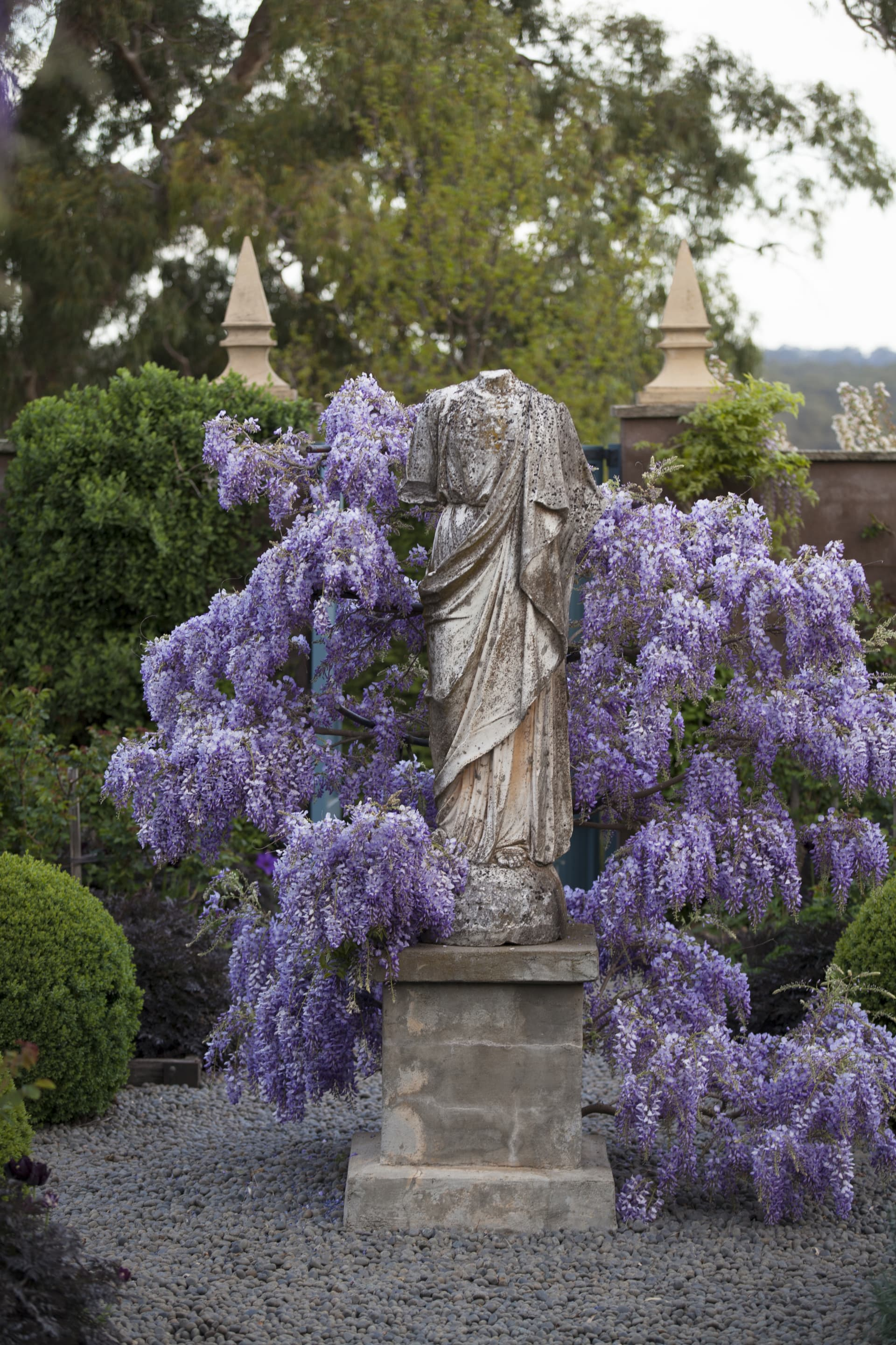 The wisteria cloaked statue in the walled rose garden. Looking resplendent in covering of tresses of wisteria. Clever pruning of the vine has created this center point to the rose garden.