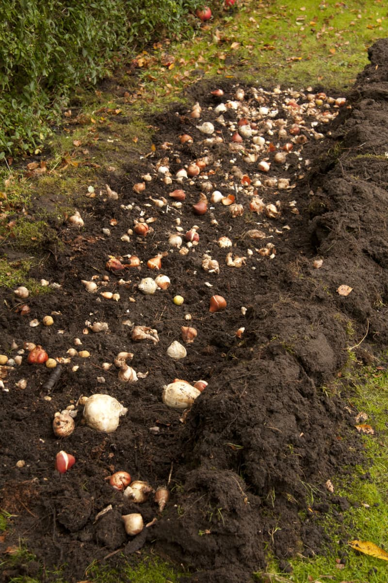 Spread the bulbs over the surface.They can be close together but should not touch.Large bulbs must be dug down while the small ones should be spread on top of the grounded soil.