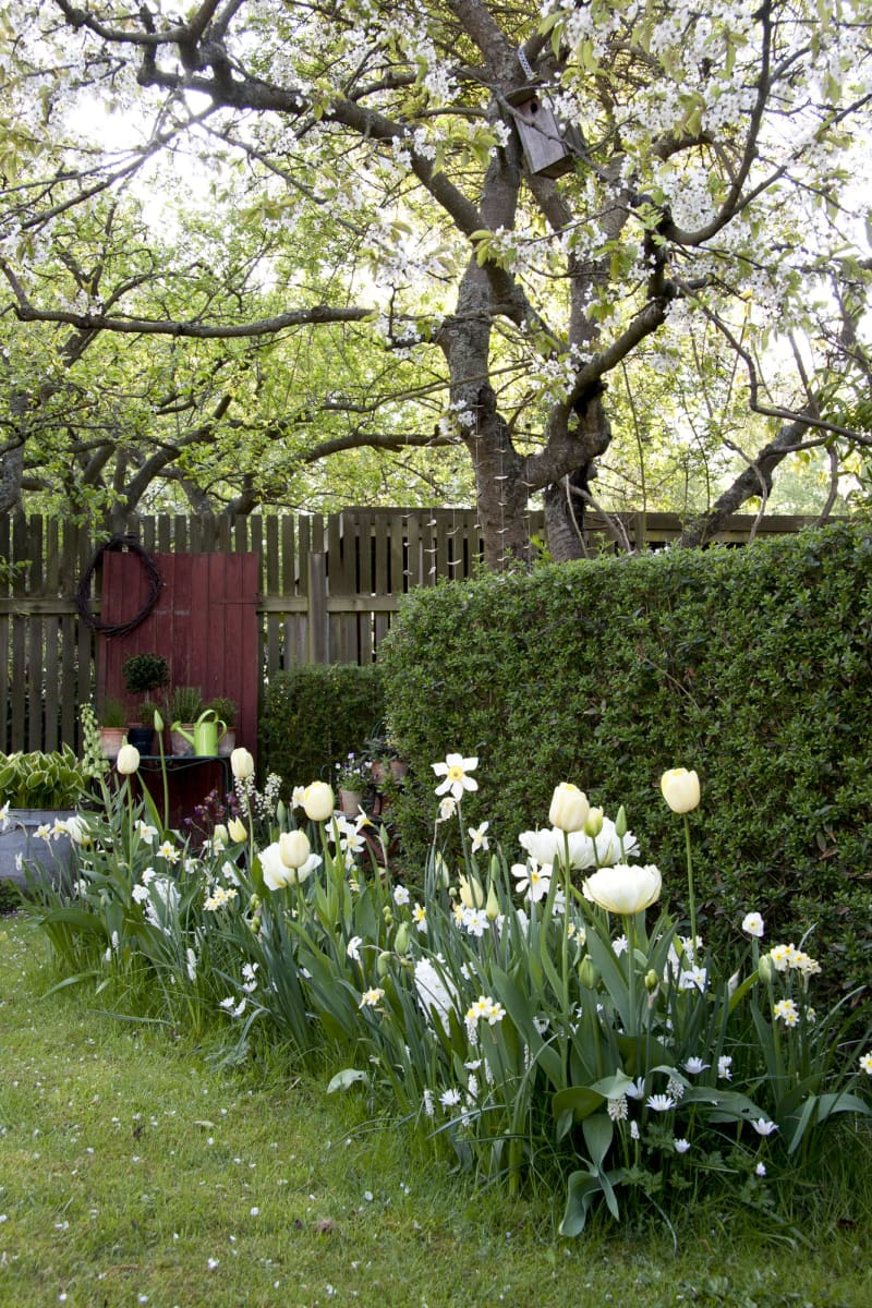 In May, the meadow reaches its peak. Alot of the smaller bulbs still bloom while Narcissi and Tulips bud out.Hyacinths, King Bed Lilies, Balkan Anemone and Pearl Hyacinths can also be seen sprouting from the ground.