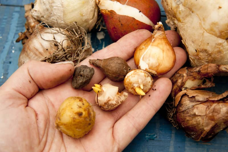 By choosing different kinds of onions you can get a spring meadow that blooms from February to May.