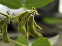 Global Demand is Shifting Fear in the Soybean Market