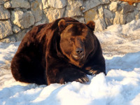 Russian Bears Awaken from Hibernation