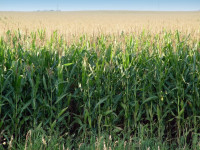 Corn Expected to Slump on Expected Record Production