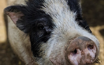 What Does African Swine Fever Have To Do With the Trade Truce?
